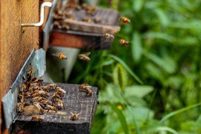 As abelhas vivem em sociedade e apresentam divisão de trabalho organizada