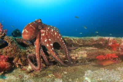 Os cefalópodes possuem cabeça bastante desenvolvida e dela partem tentáculos
