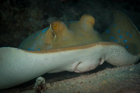 Exemplo de peixe cartilaginoso
