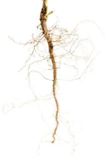 Sistema radicular pivotante ou axial encontrado em plantas dicotiledôneas e gimnospermas