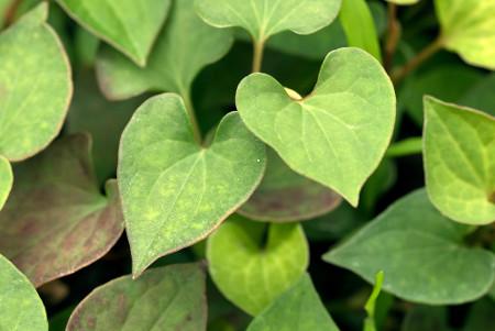 Folha cordiforme lembra a forma de um coração