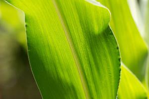 As folhas paralelinérveas ocorrem em monocotiledôneas, e as peninérveas, em eudicotiledôneas