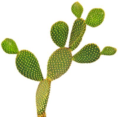 Uma das funções dos cladódios é o armazenamento de água, ocorrendo com frequência em plantas de regiões áridas