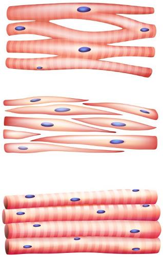 Os três tipos de músculos (de cima para baixo): cardíaco, liso e esquelético