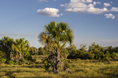 O buriti é uma árvore característica das regiões de vereda e seus frutos são utilizados na fabricação de doces