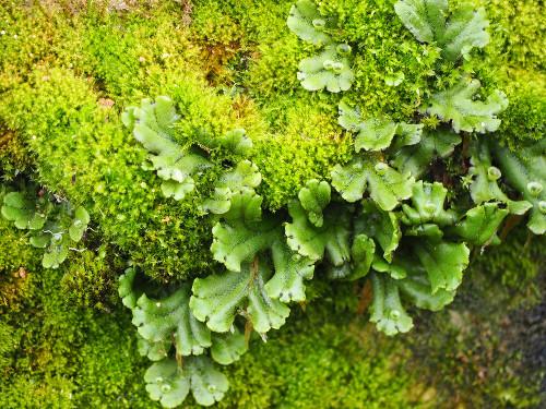 As hepáticas talosas, como as do gênero Marchantia, apresentam um gametófito achatado e ramificado
