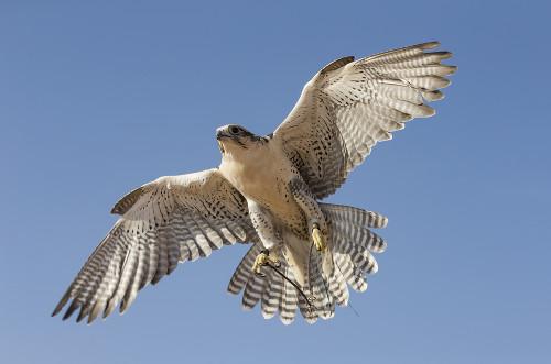 O falcão-peregrino é um exemplo de caçador solitário. Ele caça suas presas, geralmente outras aves, durante o voo