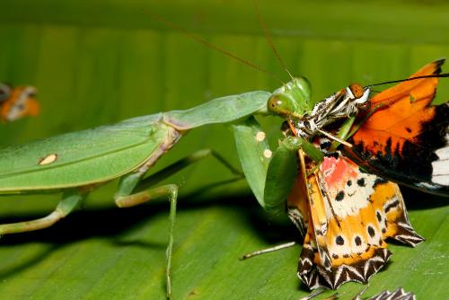 O louva-deus é um exemplo de inseto carnívoro. Apresenta as patas dianteiras maiores para agarrar o alimento