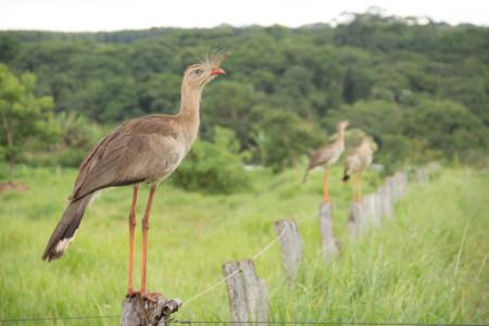 A seriema ou sariema é uma ave bastante comum no cerrado e é conhecida pelo seu canto