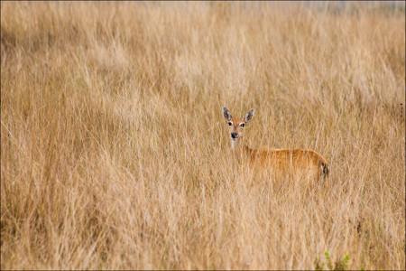 O veado-campeiro é um dos mamíferos que habitam o Cerrado