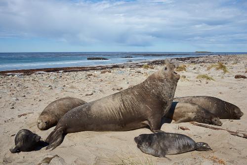 O elefante-marinho-do-sul é uma das sete espécies de pinípedes encontradas na costa brasileira