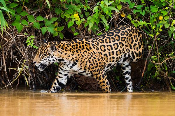 A onça-pintada é um dos representantes dos mamíferos da região do Pantanal