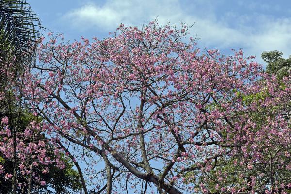 A paineira é uma das numerosas espécies vegetais existentes no bioma Pantanal