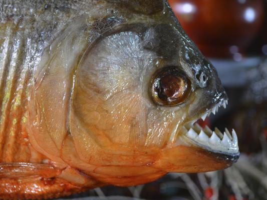 A piranha é um peixe muito temido na região, pois pode atacar tanto animais quanto seres humanos