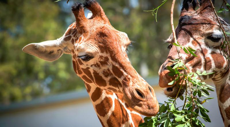 As girafas são consideradas herbívoros podadores, pois se alimentam apenas de parte da biomassa aérea da planta.