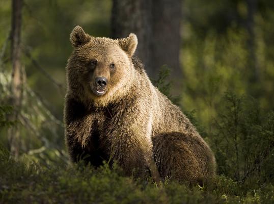 O urso pardo é um exemplo de animal onívoro e sua dieta consiste em frutas e peixes, entre outros itens