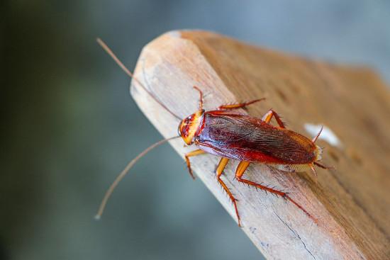 A barata, invertebrado do filo Arthropoda, possui um exoesqueleto segmentado e apêndices articulados