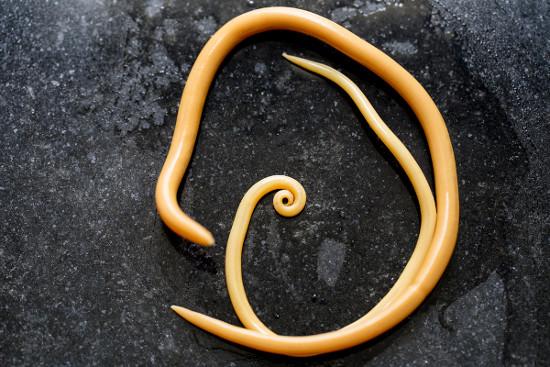 Alguns invertebrados são parasitas, como a lombriga, que pertence ao filo Nematoda e é causadora da ascaridíase