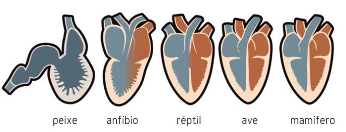 Coração Características Do Coração Humano E De Outros