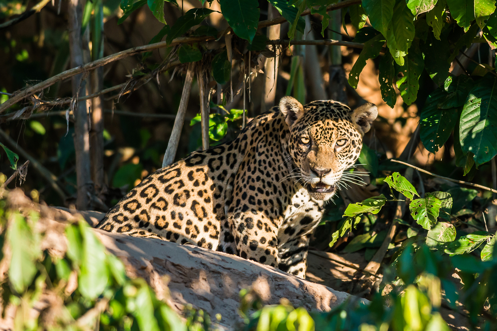 A onça-pintada, presente em todos os biomas, está ameaçada de extinção por causa da caça, entre outros fatores