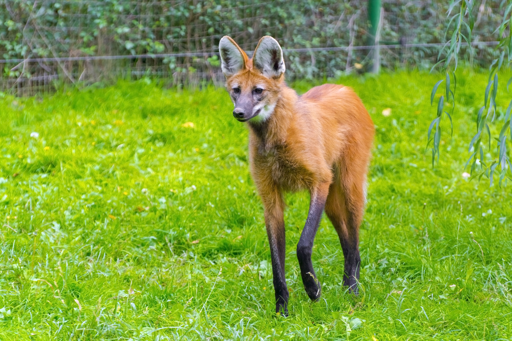 O lobo-guará é uma espécie ameaçada de extinção por causa da destruição de um de seus habitats, o Cerrado