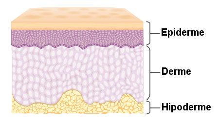 A pele é formada pelas camadas básicas derme e epiderme