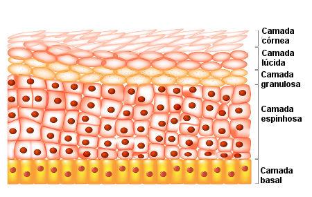 Camadas da epiderme
