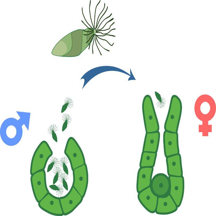 Em samambaias, os anterozoides são os gametas masculinos e móveis, e a oosfera é o gameta feminino e imóvel