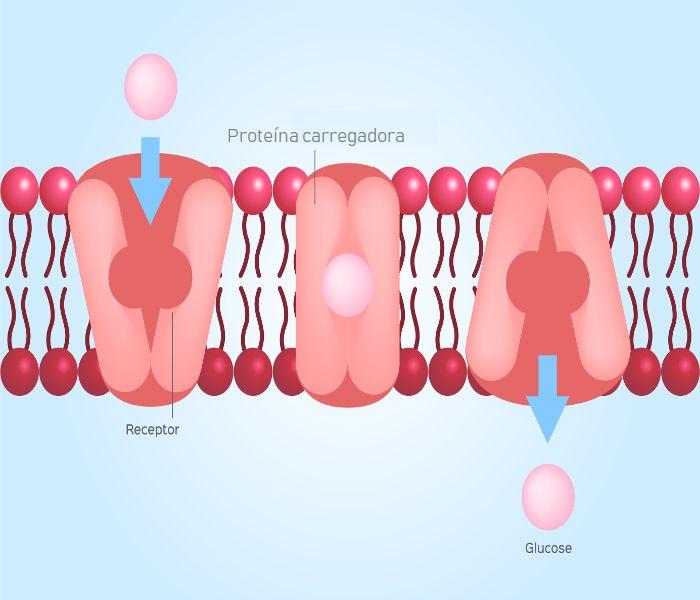 """Na difusão facilitada, proteínas reconhecem a substância a ser transportada em um mecanismo de """"chave e fechadura"""""""