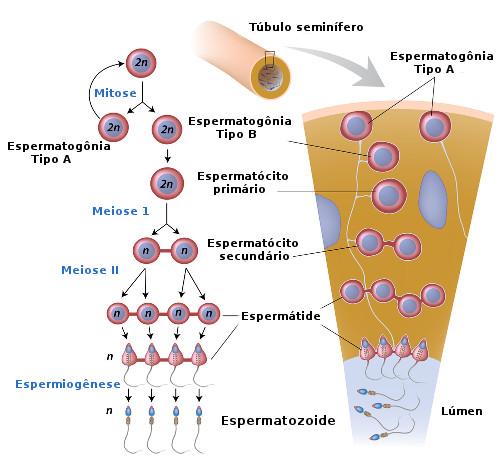Observe atentamente as etapas da espermatogênese