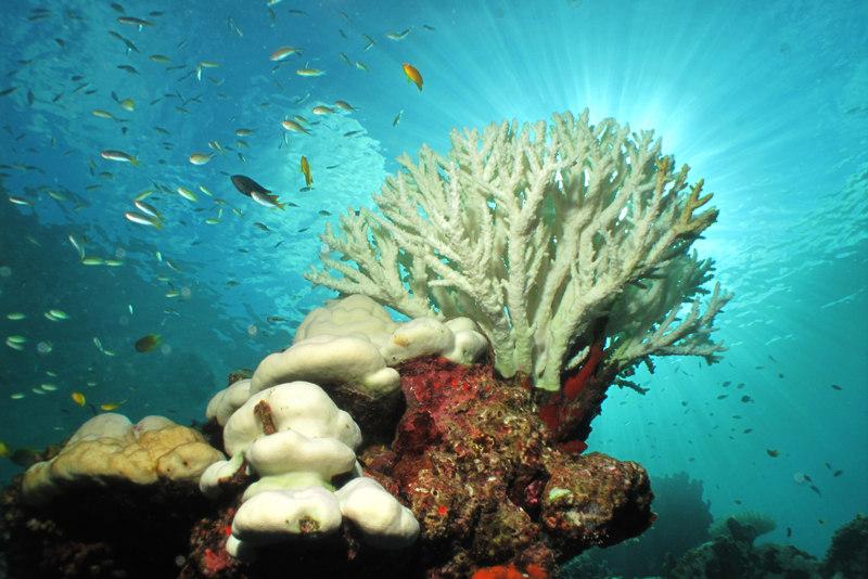 No processo de branqueamento, os corais perdem zooxantelas e/ou pigmentos fotossintetizantes.