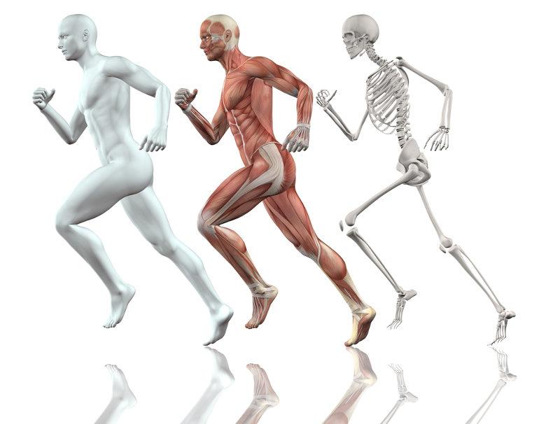 O esqueleto humano garante a movimentação do corpo e serve como local de sustentação dos músculos.