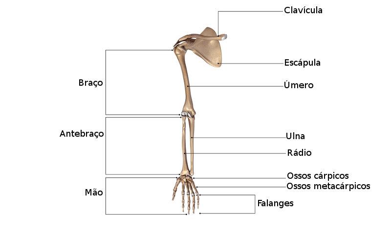 Observe os ossos que fazem parte dos membros superiores.