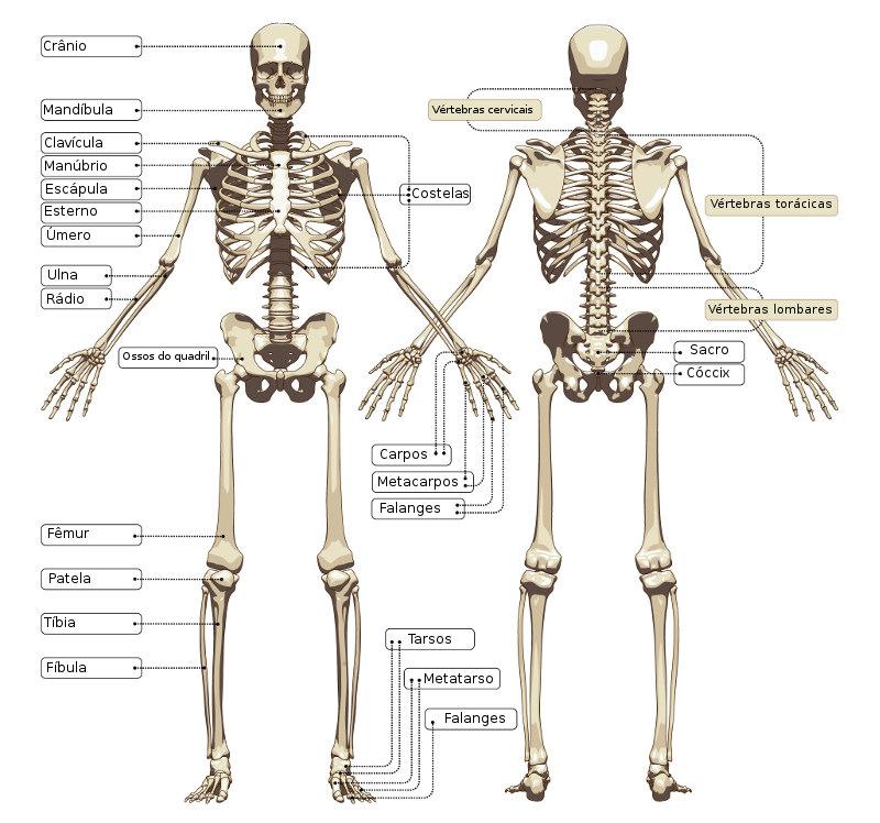Em um indivíduo adulto, o esqueleto humano possui 206 ossos. Na imagem, podemos observar alguns deles.