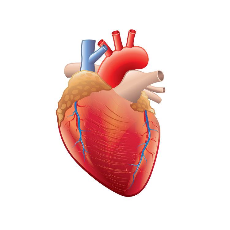 O coração é um órgão pertencente ao sistema cardiovascular.