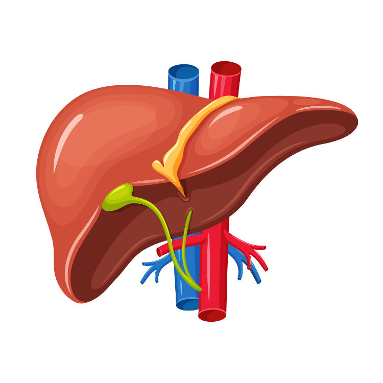 O fígado está relacionado com a eliminação de substâncias tóxicas e com produção da bile.
