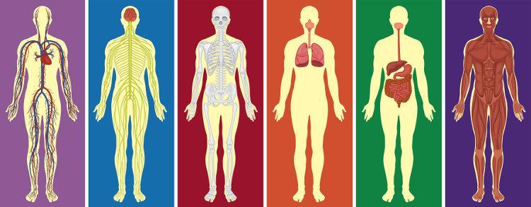 Os sistemas do corpo humano são formados por uma série de órgãos que trabalham para realizar uma determinada função.