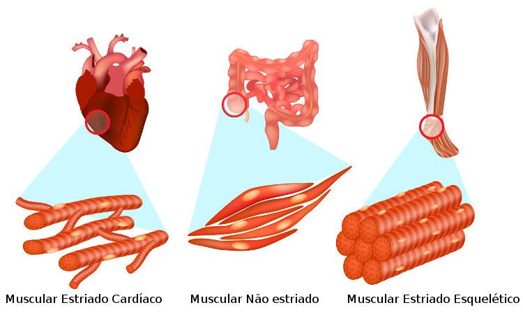 O tecido muscular pode ser dividido em três tipos básicos: tecido muscular não estriado, tecido muscular estriado esquelético, tecido muscular estriado cardíaco.