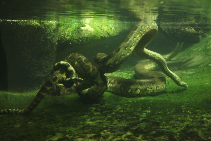 A sucuri é uma serpente de hábito semiaquático e é considerada a maior serpente do mundo em volume corporal.