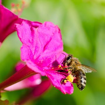 A abelha é um agente polinizador de várias plantas