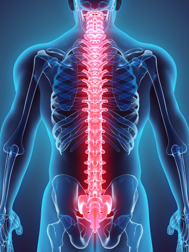 A coluna vertebral na espécie humana é constituída por 33 vértebras