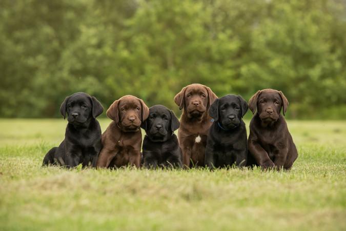 A cor do pelo de cães labradores é determinada por dois pares de alelos, e um deles é epistático.