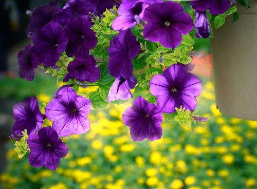 A cor roxa das flores representa o fenótipo desse organismo