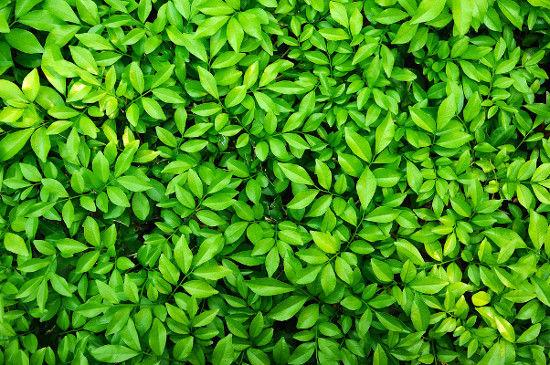 A cor verde das folhas deve-se à presença da clorofila