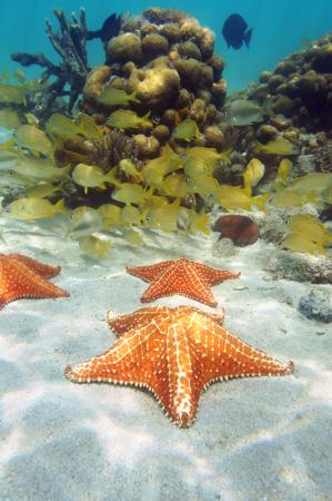 A estrela-do-mar é um representante do filo Echinodermata, pertencendo à classe Asteroidea