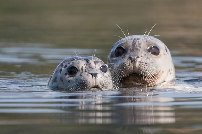 A foca é um dos principais representantes da subordem <i>Pinnipedia</i> e pertence à família <i>Phocidae</i>