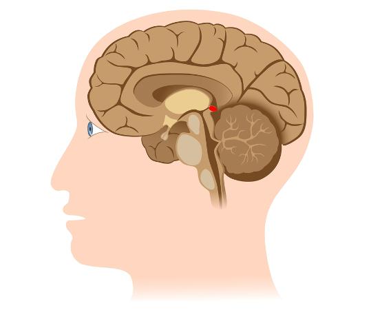 A glândula pineal, ou epífise, está relacionada à regulação do relógio biológico