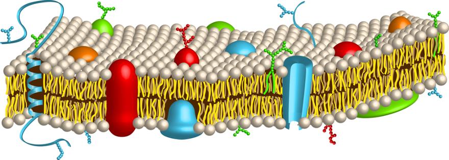 A membrana celular é formada por uma bicamada lipídica em que proteínas estão inseridas