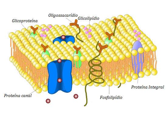 A membrana plasmática é uma bicamada fosfolipídica com proteínas inseridas