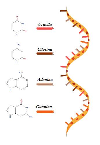 A molécula de RNA é uma fita simples, mas pode assumir um arranjo tridimensional